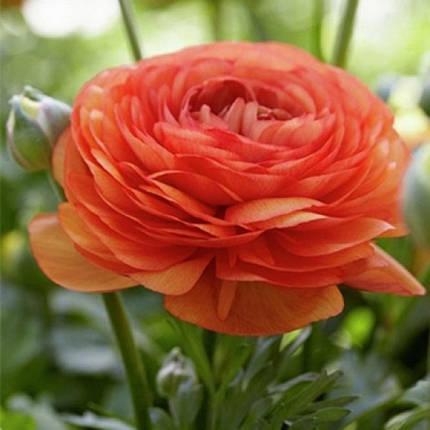 Клубни лютика оранжевого, 5 клубней, фото 2