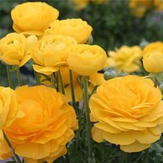 Клубни лютика желтого, 5 клубней