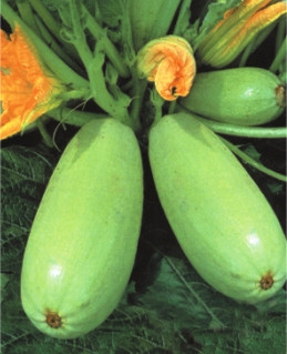 Семена кабачков Белый Одесский
