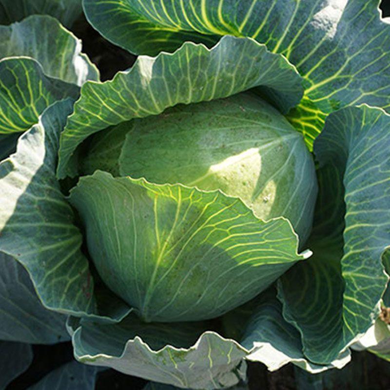 Зенон F1 насіння капусти білоголової (Syngenta)