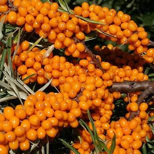 Саженцы Облепихи Лейкора (женский) - средняя, крупноплодная, ароматная
