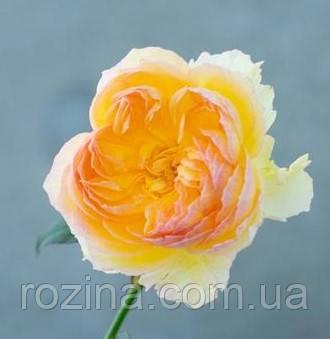 """Саджанці троянди """"LIKUHOTALU"""""""