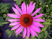 Эхинацея пурпурная (трава)   50г