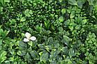 Декоративне вертикальне озеленення Фитостена 100x100 см GCK-10, фото 2