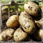 Когда и какими способами высаживать картофель?