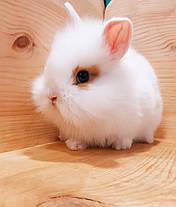"""Карл.торчеухий кролик,порода """"Львиная голова"""",возраст 1,5мес.,окрас """"Белый с оранж.окант."""",девочка, фото 3"""