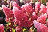 Гортензія морозостійка Fraise Melba 2 річна, Гортензія волотиста Фрайз Мельба, Hydrangea paniculata Fraise Melba, фото 3