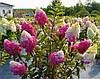 Гортензія морозостійка Fraise Melba 2 річна, Гортензія волотиста Фрайз Мельба, Hydrangea paniculata Fraise Melba, фото 4