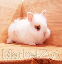 """Карл.торчеухий кролик,порода """"Львиная голова"""",возраст 1,5мес.,окрас """"Белый с оранж.окант."""",девочка, фото 2"""