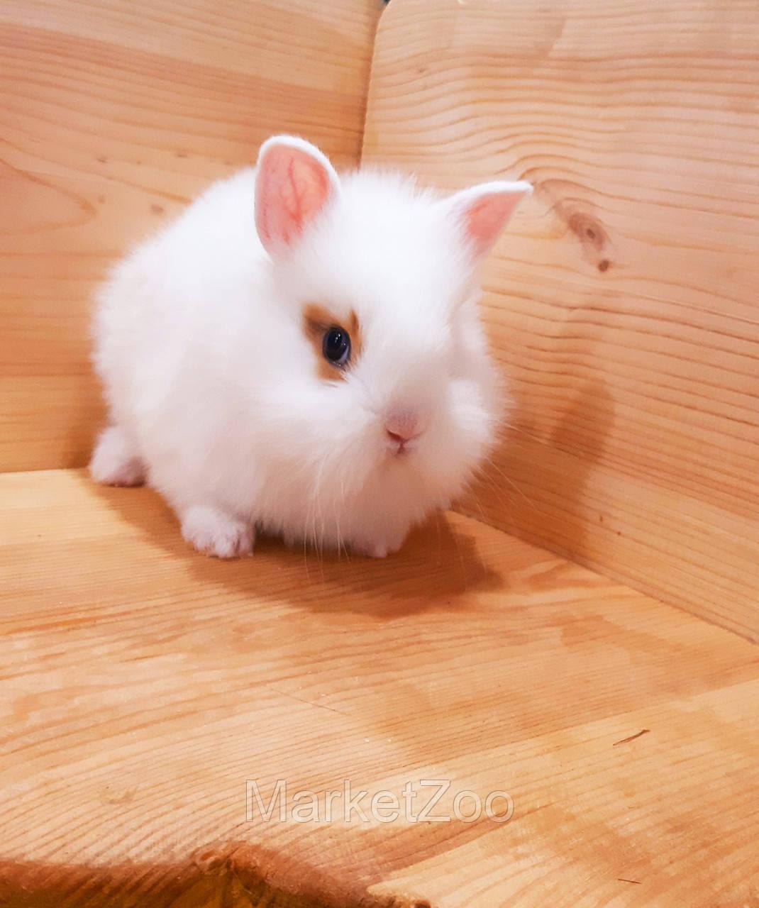 """Карл.торчеухий кролик,порода """"Львиная голова"""",возраст 1,5мес.,окрас """"Белый с оранж.окант."""",девочка"""