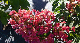 Гортензія волотиста Mega Mindy 2 річна, Гортензия метельчатая Мега Минди, Hydrangea paniculata Mega Mindy, фото 3