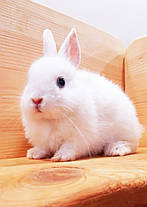 """Карл.торчеухий кролик,порода """"Голландский"""",окрас""""Белый"""",возраст 2мес.,мальчик, фото 2"""