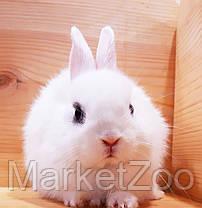 """Карл.торчеухий кролик,порода """"Голландский"""",окрас""""Белый"""",возраст 2мес.,мальчик, фото 3"""