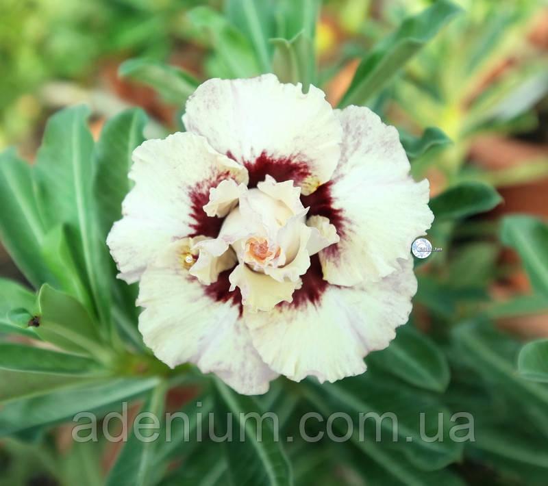 Адениум Ко_174 (семена)