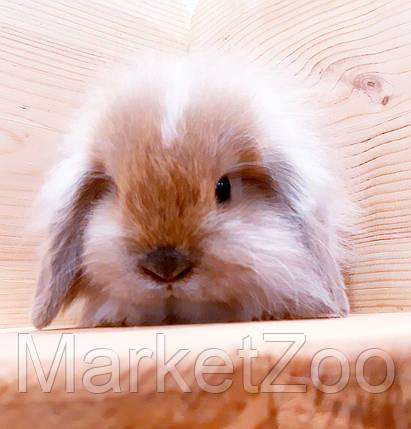 """Карликовый вислоухий кролик,порода """"Вислоухий баранчик"""",окрас """"Тюрингенский"""",возраст 1,5мес., фото 2"""