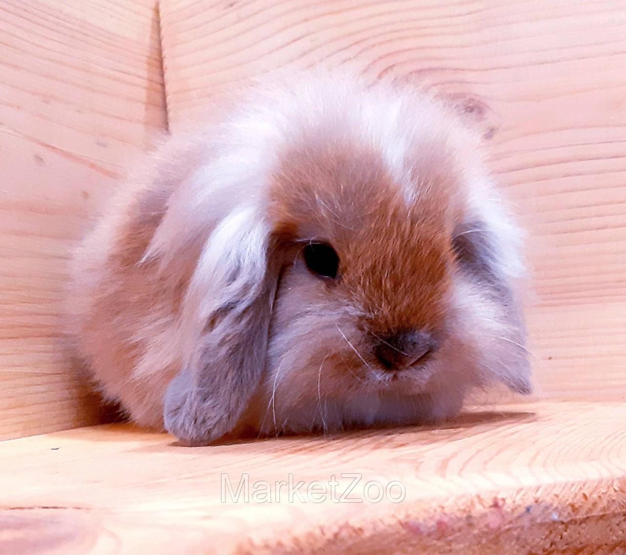 """Карликовый вислоухий кролик,порода """"Вислоухий баранчик"""",окрас """"Тюрингенский"""",возраст 1,5мес."""