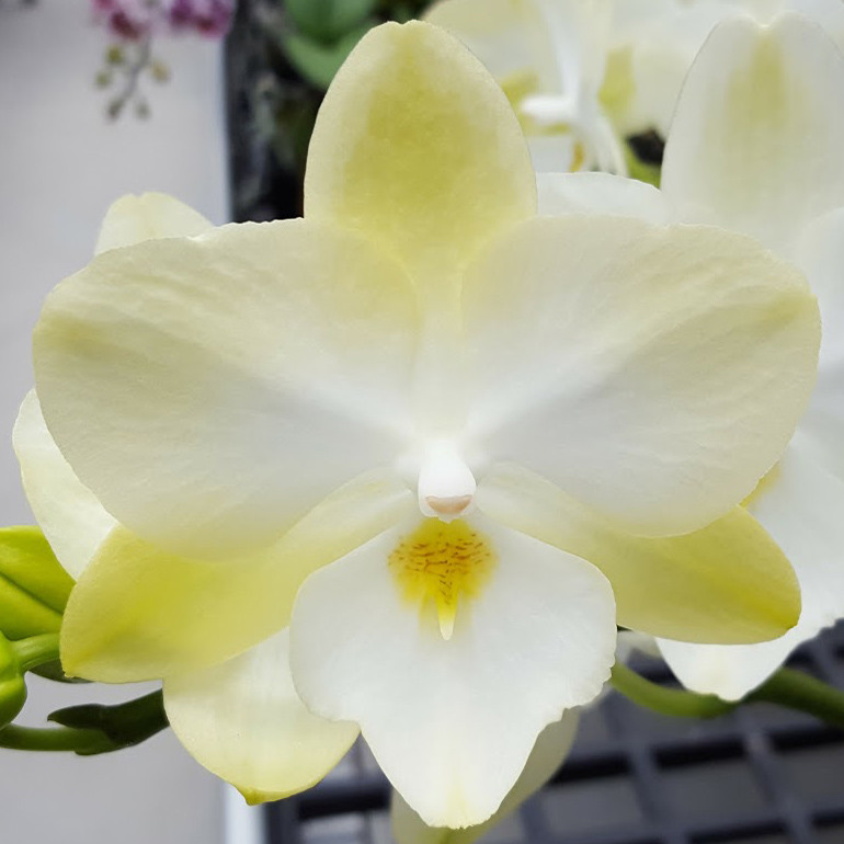 "Орхидеи. Сорт Diamond star горшок 2.5"" без цветов"