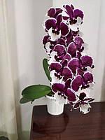 Орхидея подросток. Сорт Santa claus, горшок1.7 без цветов