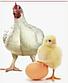 Бройлер КОББ 500 (Чехия) яйцо, фото 4