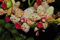 """Орхидея Tying shin Classic, горшок 2.5"""" без цветов, фото 1"""