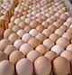 КОББ 500 бройлер яйца инкубационные Европа, фото 2