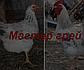 КОББ 500 бройлер яйца инкубационные Европа, фото 4