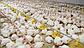 КОББ 500 бройлер яйца инкубационные Европа, фото 8