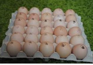 КОББ 500 бройлер яйца инкубационные Европа