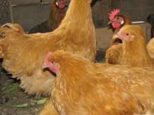 Инкубационное яйцо Фокси Чик Венгрия