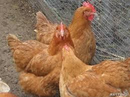 Инкубационное яйцо Фокси Чик Венгерской птицефабрики