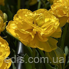Набір цибулин квітів Помпонетт 7 цибулин тюльпанів, фото 3