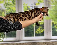 Девочка бенгал, др. 28.09.2020. (красный ошейник) Бенгальские котята из питомника Royal Cats. Украина, Киев, фото 1