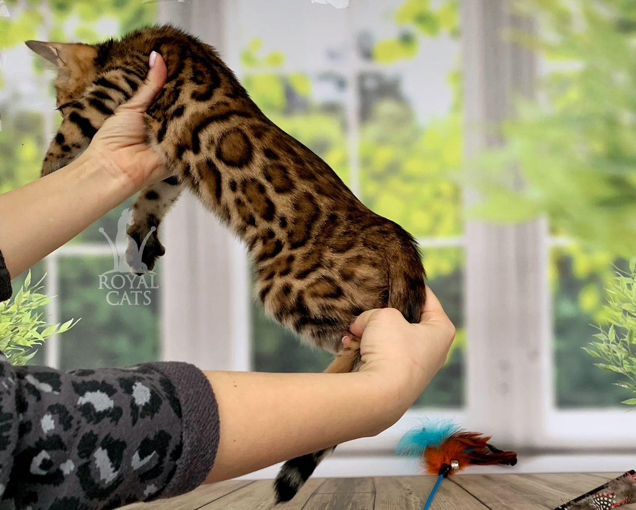 Мальчик бенгал, др. 28.09.2020. (черный ошейник) Бенгальские котята из питомника Royal Cats. Украина, Киев
