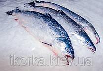 У США надійде в продаж генно-модифікована риба