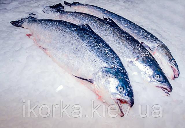 В США поступит в продажу генно-модифицированная рыба