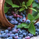 Влияние ягодных паст на системы и органы человека