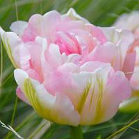 Тюльпан махровый поздний Angelique (Анжелика) 3 шт./уп. луковицы 10/11, фото 1