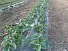 Выращивание  земляники  садовой  с  применением  мульчирующих  материалов