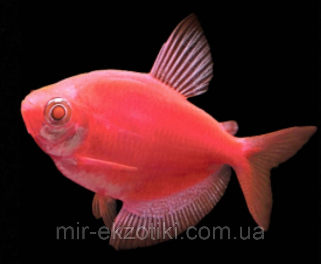 Тернеция глофиш GloFish красная алая (Gymnocorymbus ternetzi) 2-3см