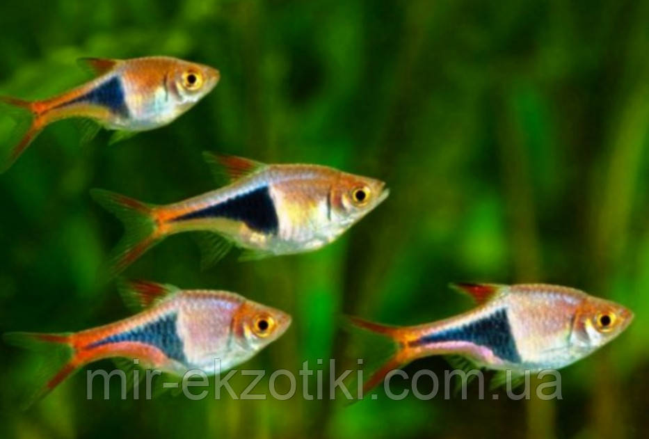 Расбора клинопятнистая, расбора гетероморфа (Rasbora heteromorpha, Trigonostigma heteromorpha)