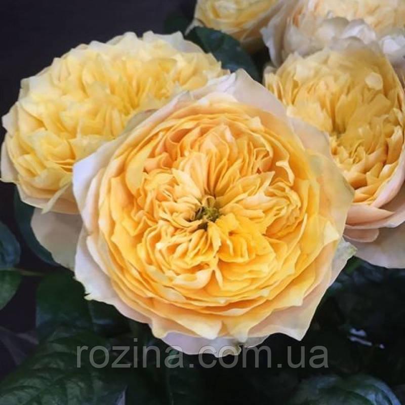 "Саджанці троянди ""ГОЛДЕН ВУВУЗЕЛЛА"""
