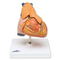 Классическая модель сердца с вилочковой железой, 3 части