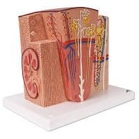 Модель почки 3B MICROanatomy™