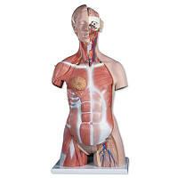 Модель торса с мышцами, двуполая, класса «люкс», 31 часть