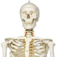 Модель гибкого скелета «Fred» класса «люкс», на 5-рожковой роликовой стойке