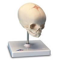 Модель черепа плода, на подставке