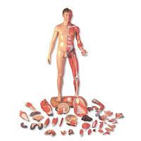 Фигура с мышцами 3B Scientific®, двуполая, в натуральную величину, азиатского типа, 39 частей