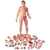 Фигура с мышцами 3B Scientific®, двуполая, в натуральную величину, европеоидного типа, 39 частей