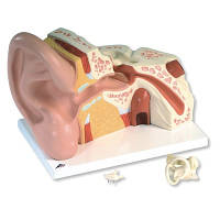 Модель гигантского уха, 5-кратное увеличение, 3 части