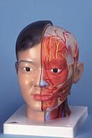 Модель головы и шеи класса «люкс», азиатского типа, 4 части